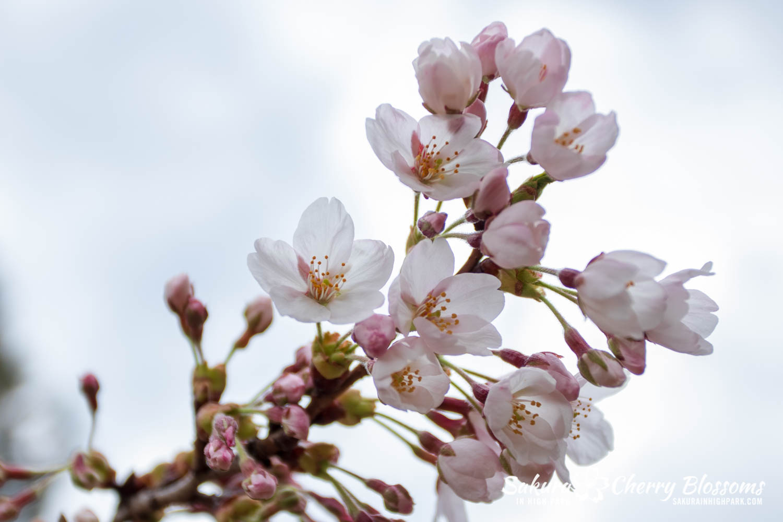 sakura watch may 6-2019-110.jpg