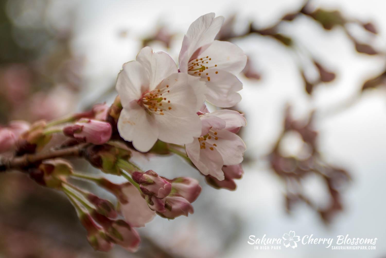sakura watch may 6-2019-111.jpg