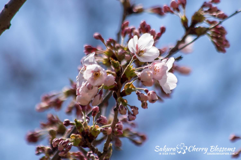 sakura watch may 6-2019-40.jpg