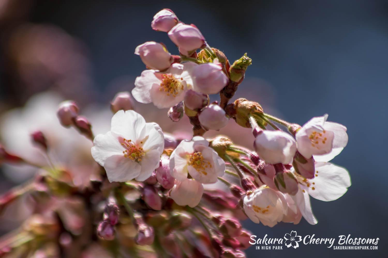 sakura watch may 6-2019-22.jpg