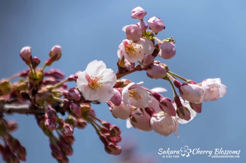sakura watch may 6-2019-4.jpg