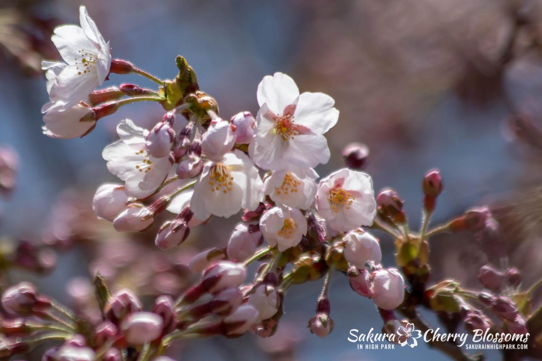 sakura watch may 6-2019-15.jpg