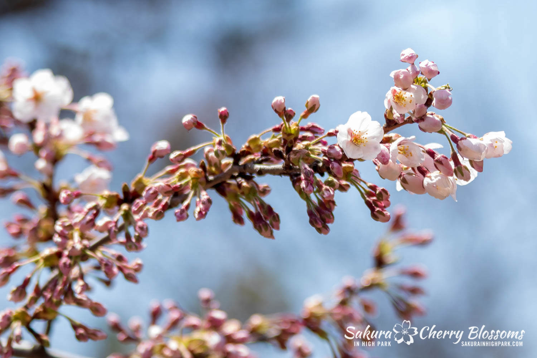 sakura watch may 6-2019-2.jpg