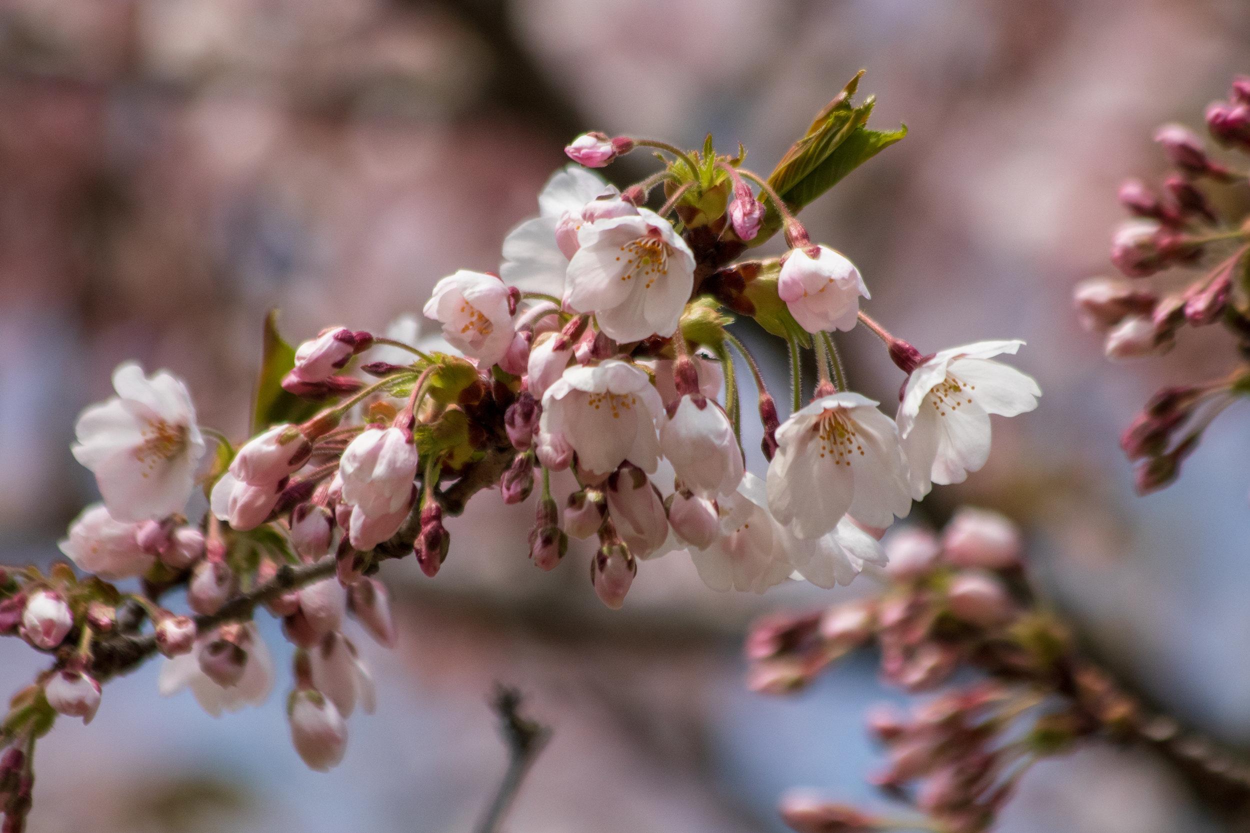 sakura watch May 9-2019-89.jpg