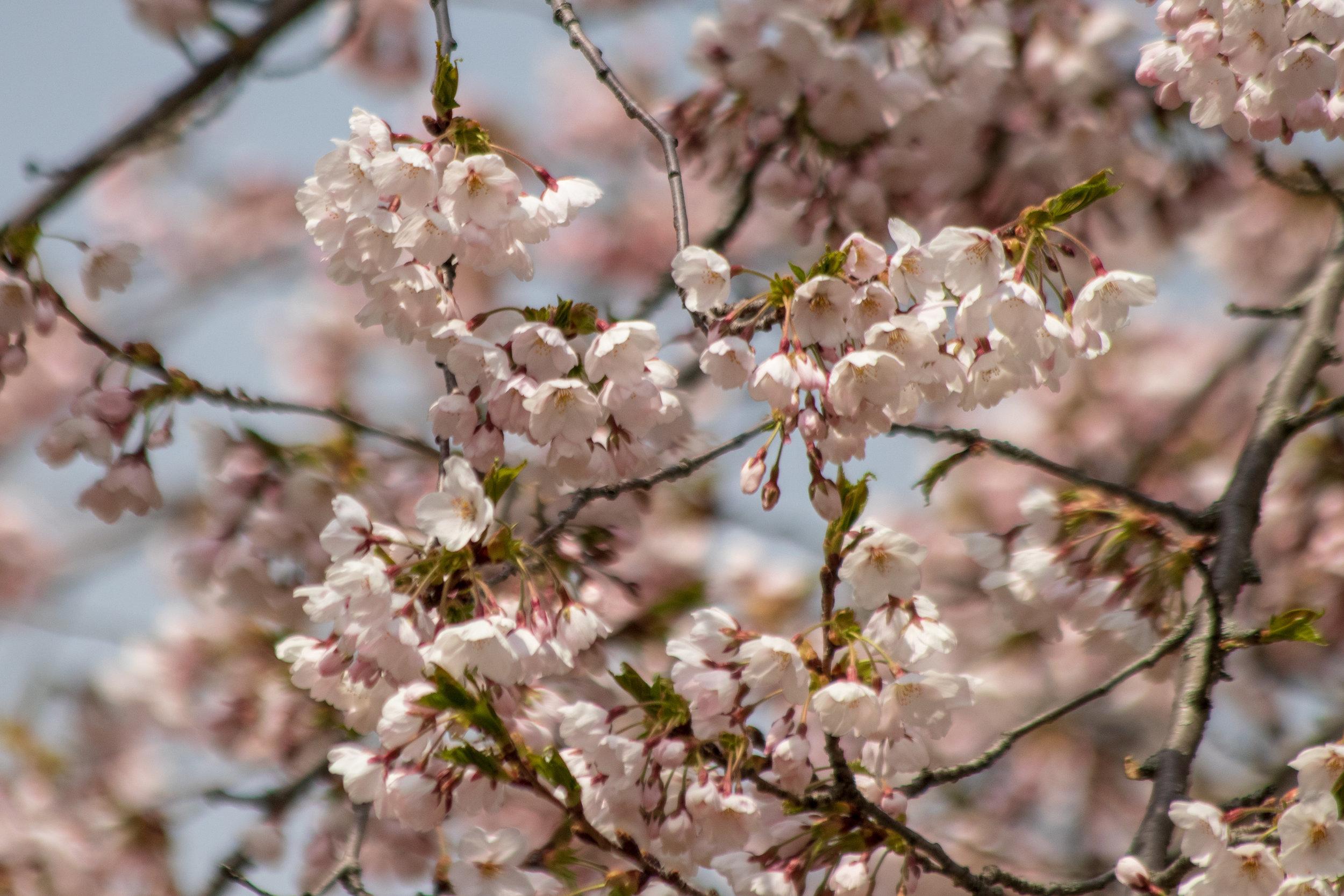sakura watch May 9-2019-86.jpg
