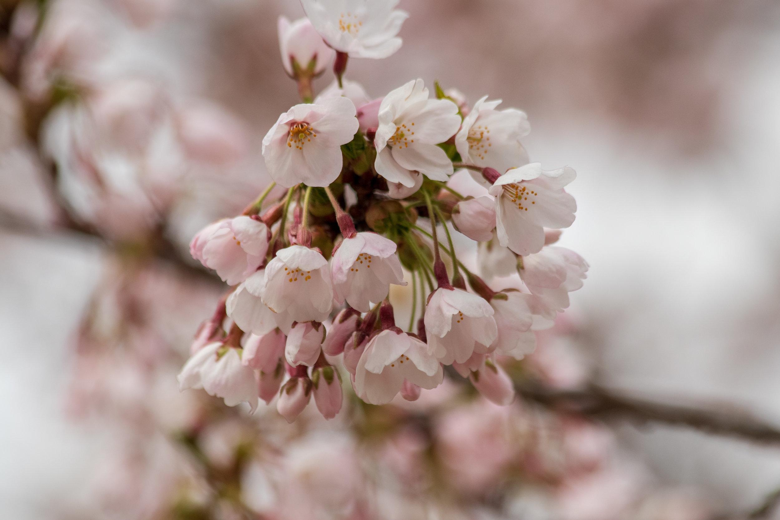 sakura watch May 9-2019-66.jpg