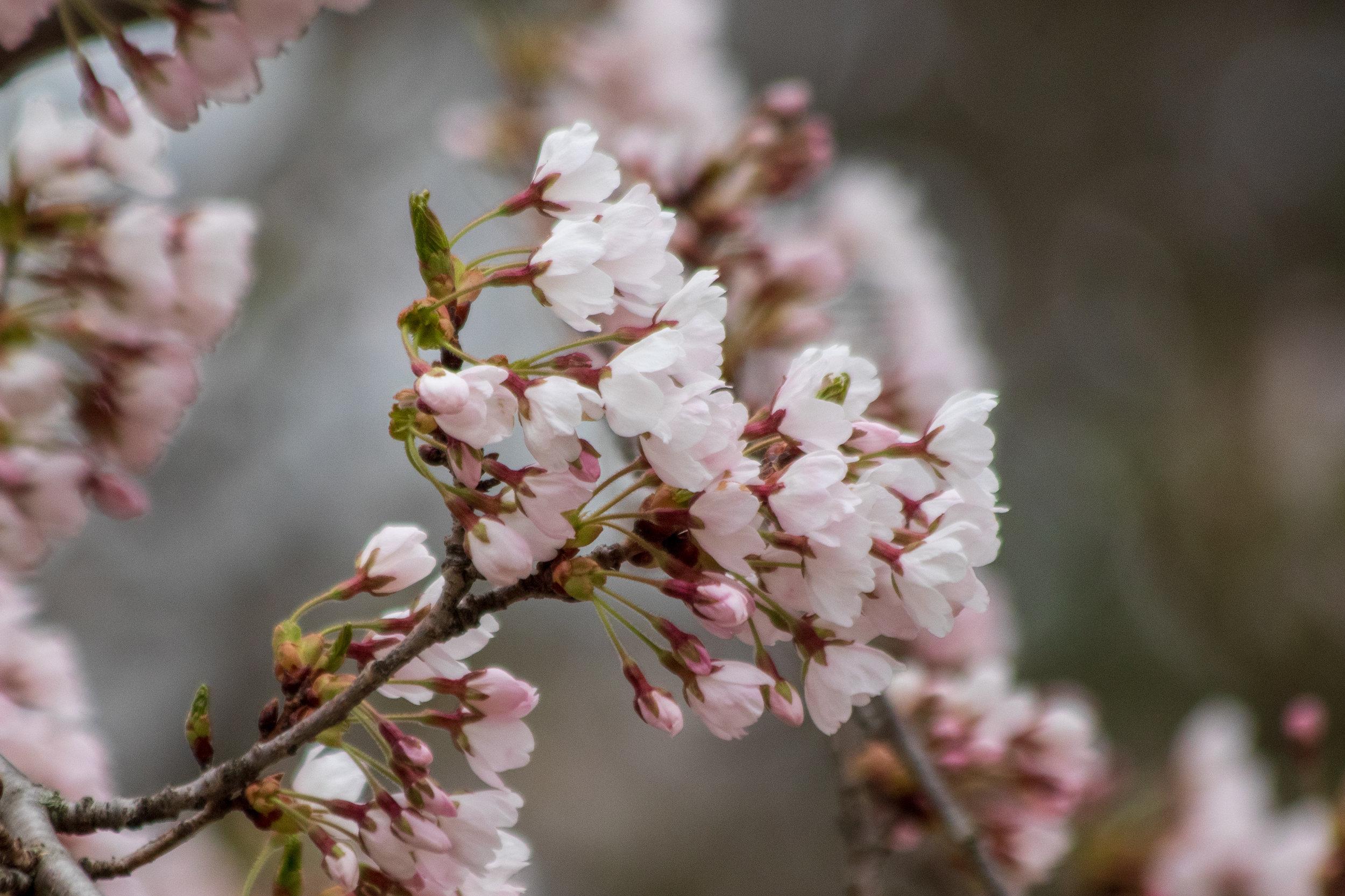 sakura watch May 9-2019-33.jpg