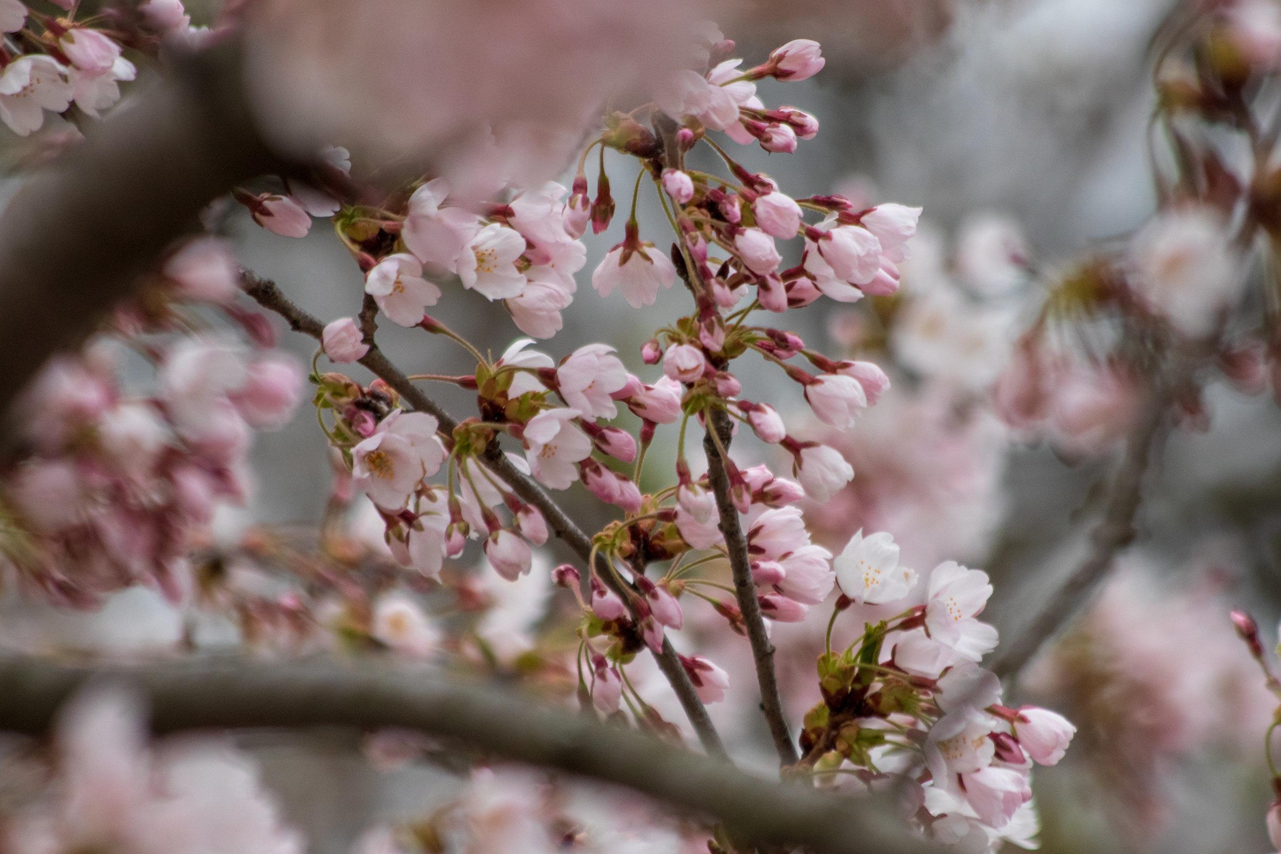 sakura watch May 9-2019-37.jpg