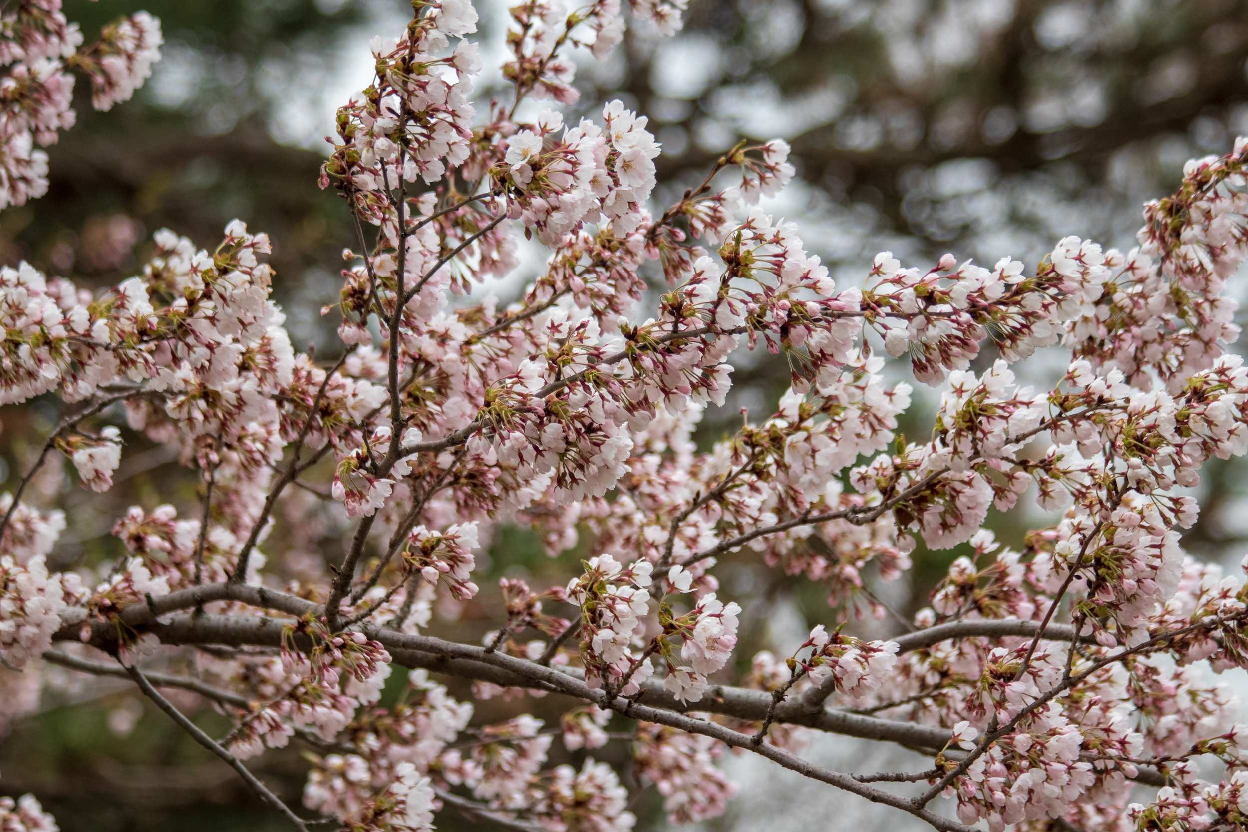 sakura watch May 9-2019-21.jpg