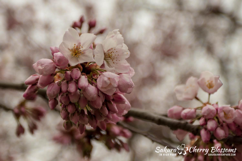 sakura watch may 11-2019-162.jpg