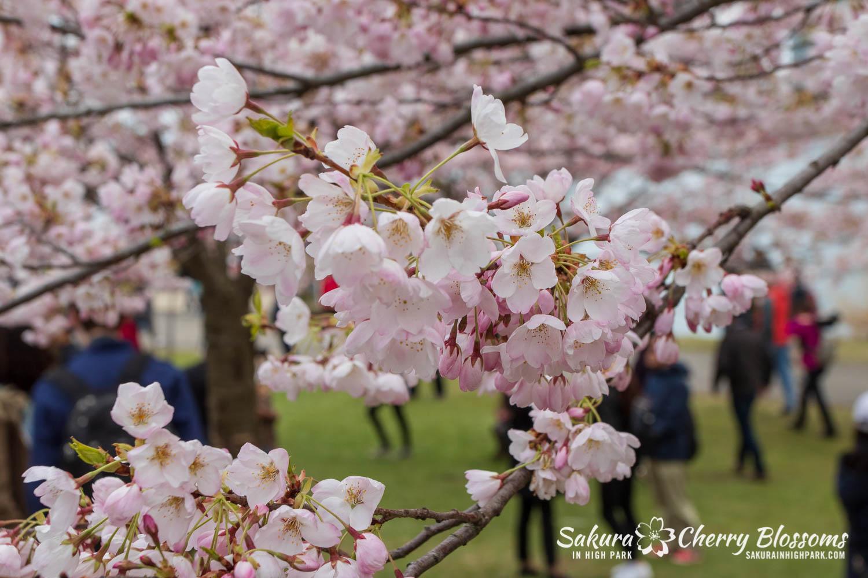sakura watch may 11-2019-138.jpg