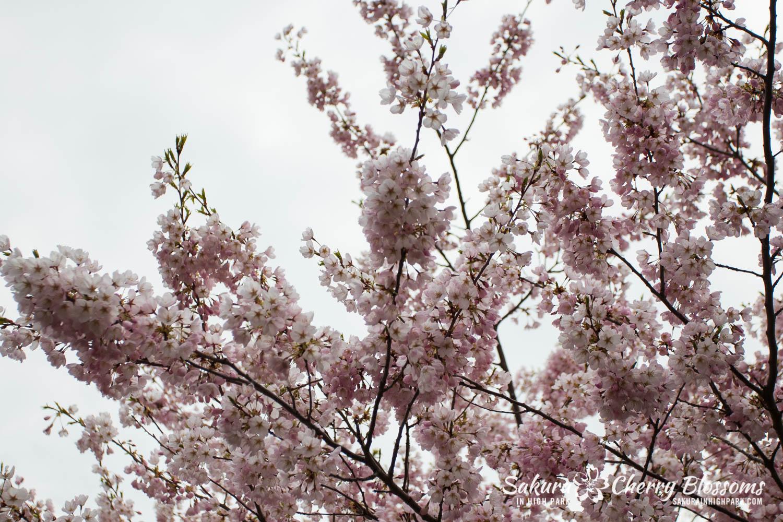 sakura watch may 11-2019-135.jpg