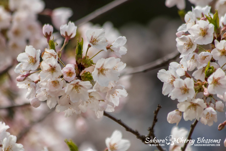 sakura watch may 11-2019-97.jpg