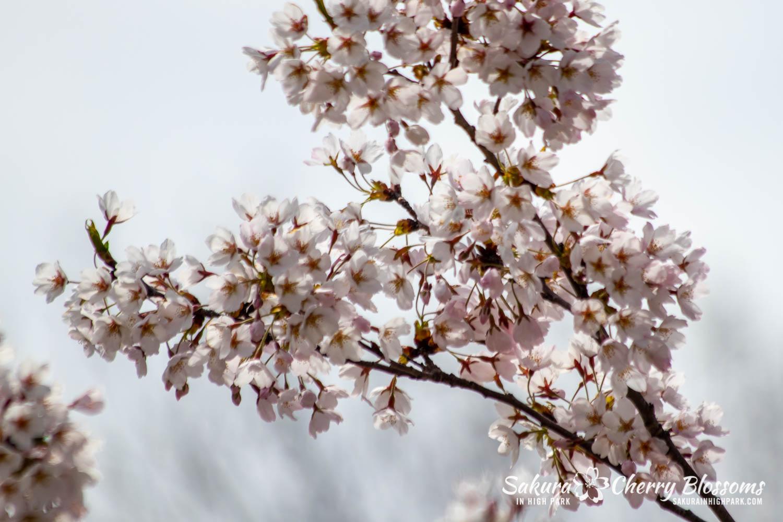 sakura watch may 11-2019-75.jpg