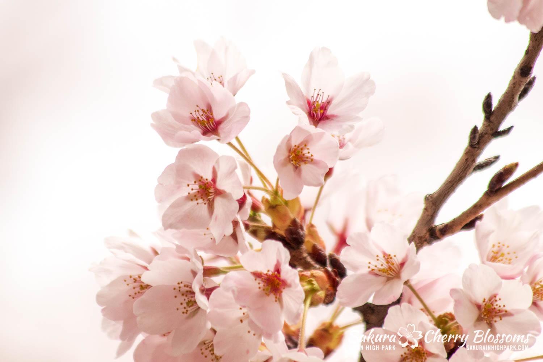 sakura watch may 14-2019-63.jpg
