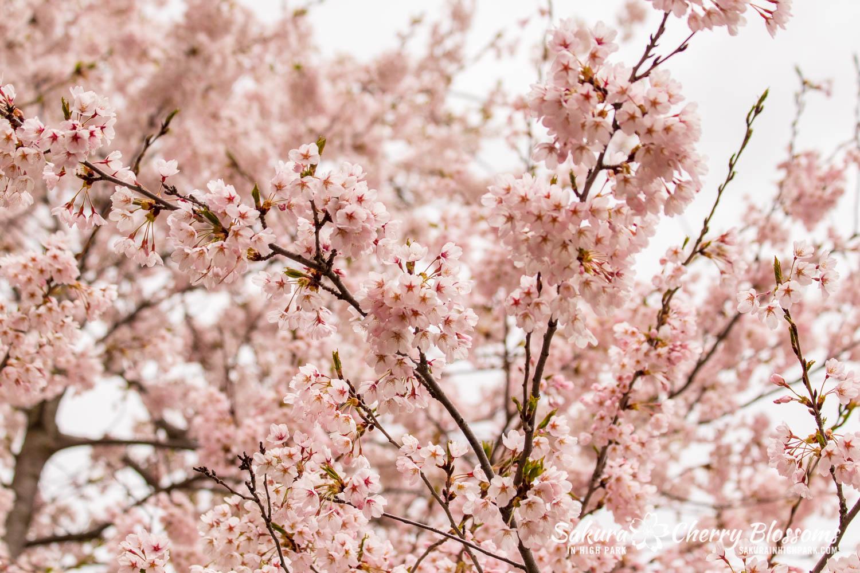 sakura watch may 14-2019-47.jpg
