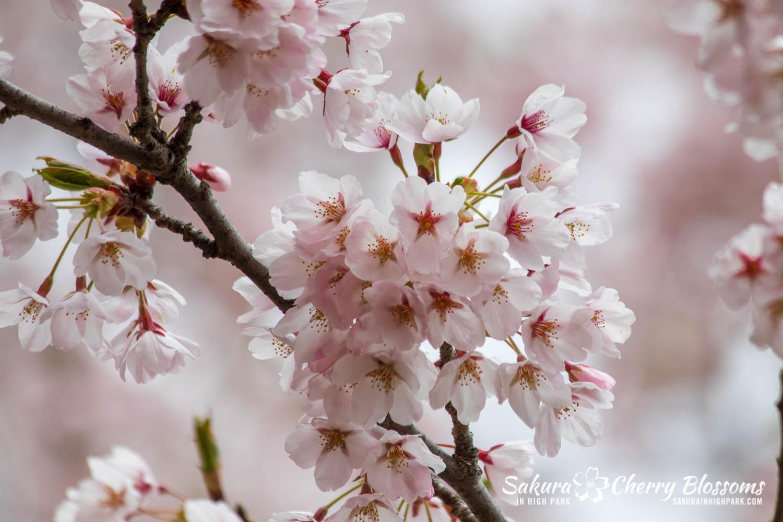 sakura watch may 14-2019-49.jpg