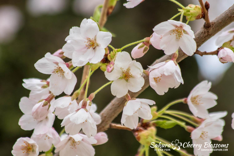 sakura watch may 14-2019-32.jpg