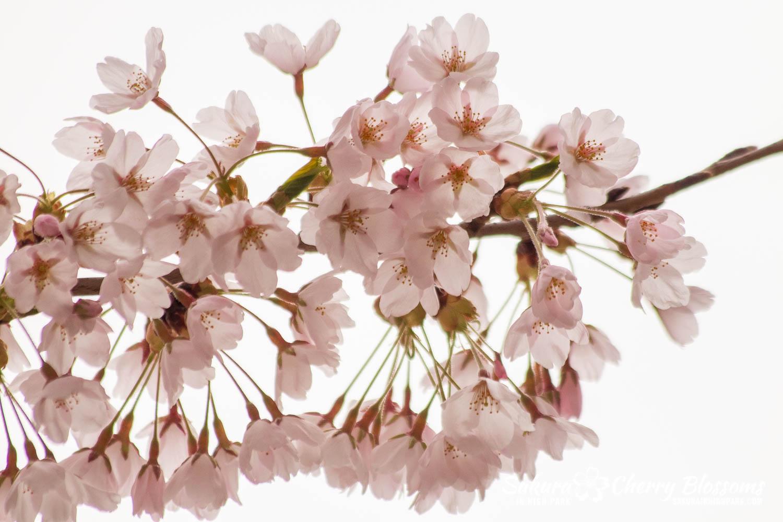 sakura watch may 14-2019-45.jpg