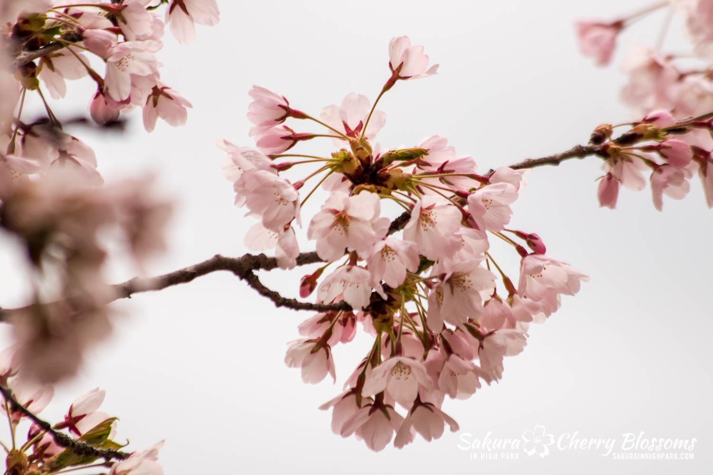 sakura watch may 14-2019-40.jpg