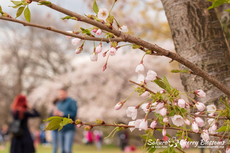sakura watch may 14-2019-27.jpg