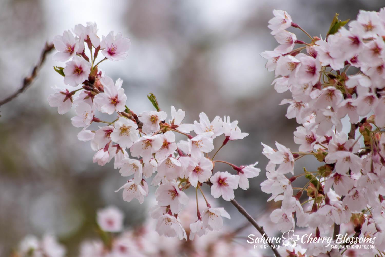 sakura watch may 14-2019-89.jpg
