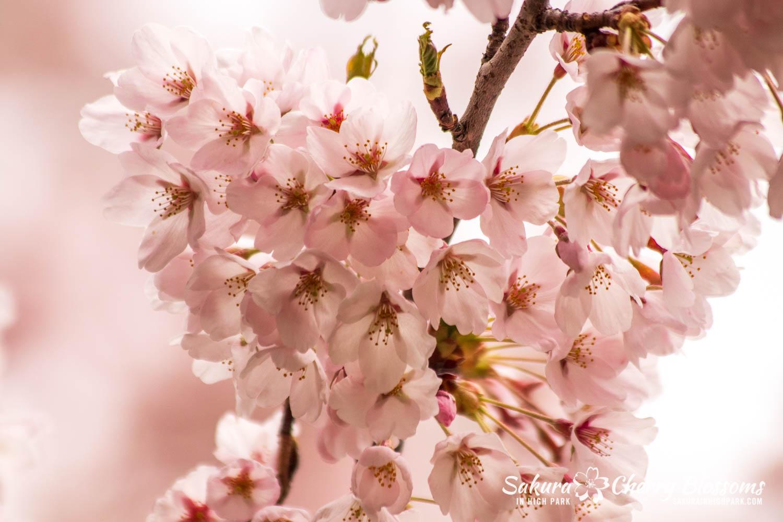 sakura watch may 14-2019-57.jpg