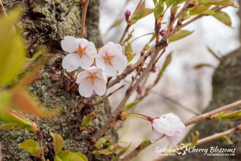 sakura watch may 14-2019-299.jpg