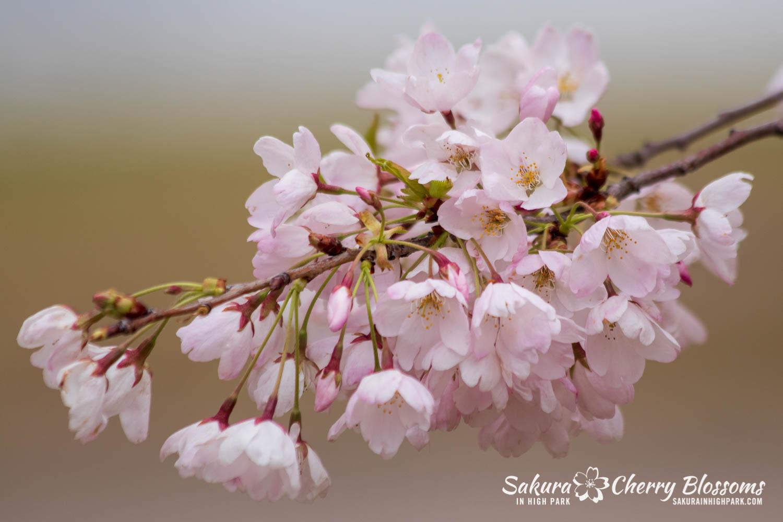 sakura watch may 14-2019-280.jpg