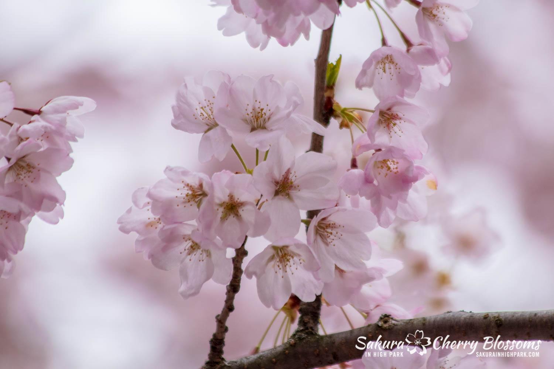 sakura watch may 14-2019-240.jpg