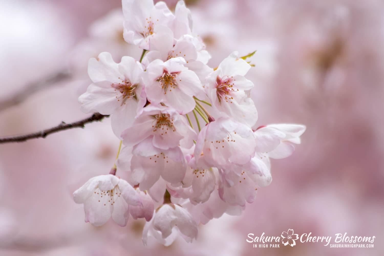 sakura watch may 14-2019-203.jpg