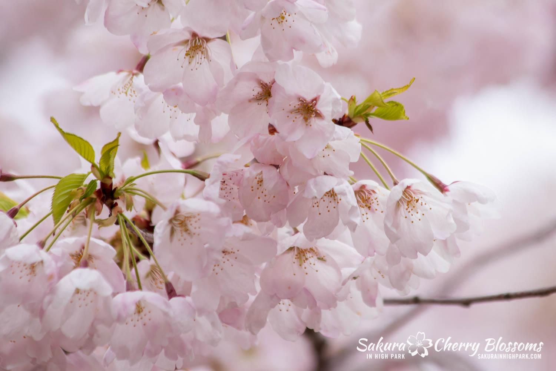 sakura watch may 14-2019-200.jpg