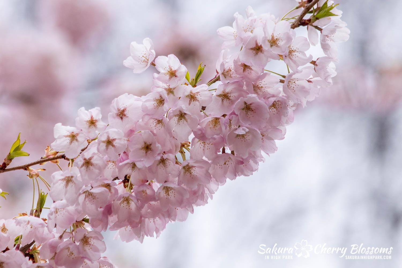 sakura watch may 14-2019-210.jpg
