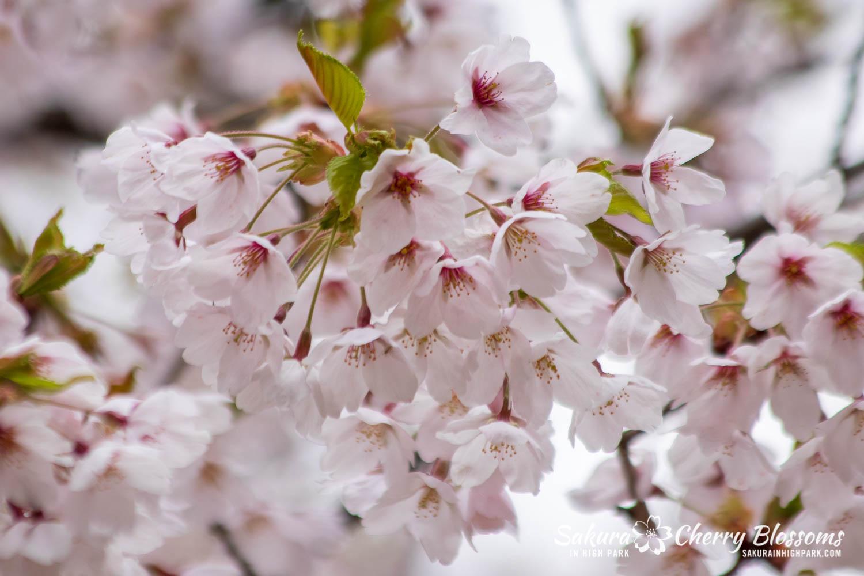sakura watch may 14-2019-173.jpg