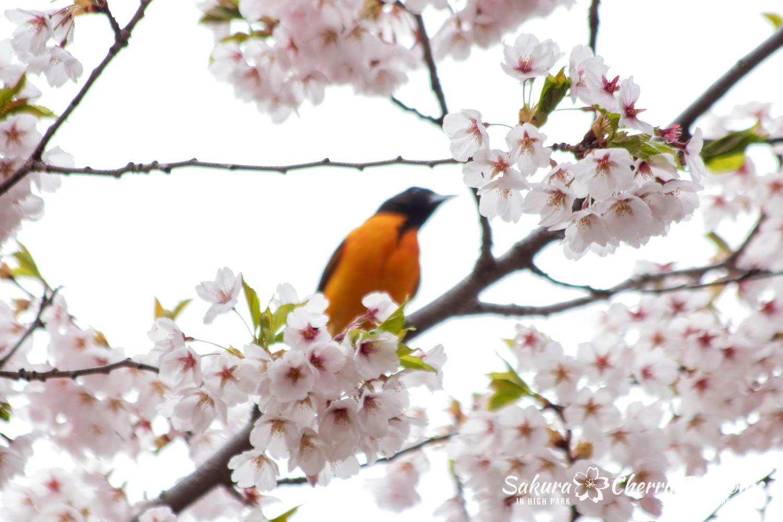 sakura watch may 14-2019-142.jpg