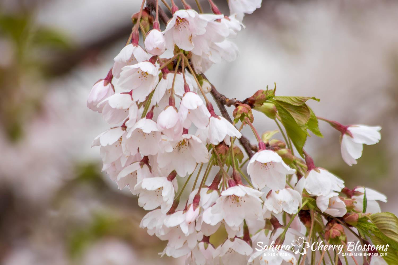 sakura watch may 14-2019-101.jpg
