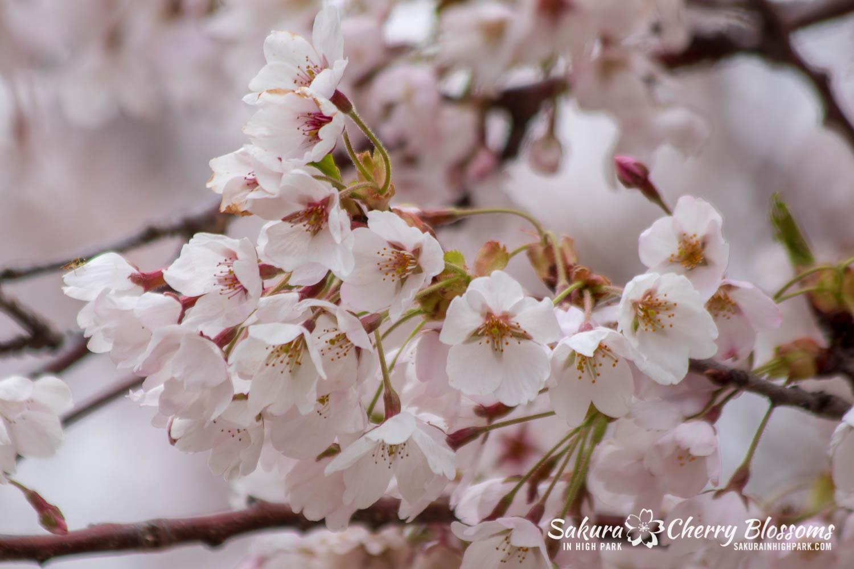 sakura watch may 14-2019-116.jpg