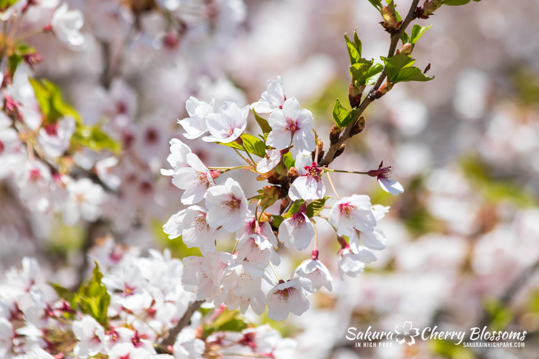 sakura watch may 17-19-5.jpg