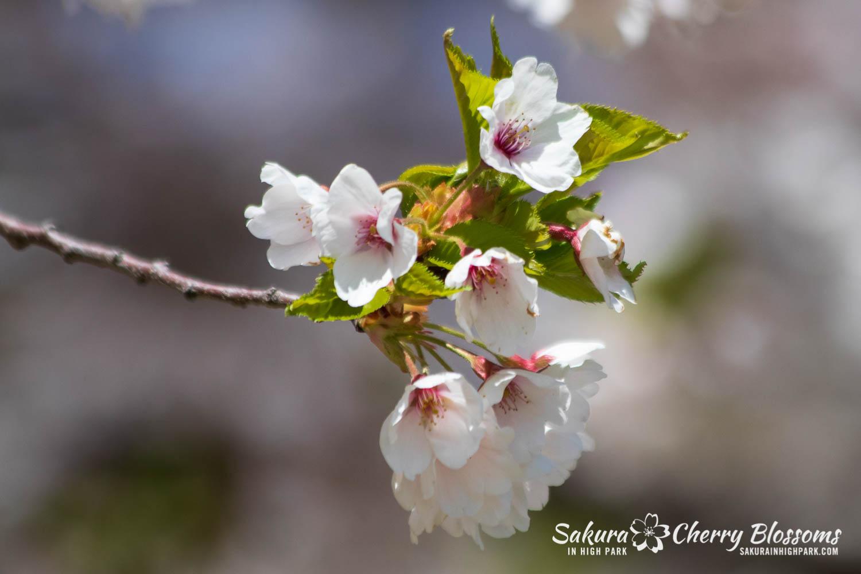 sakura watch may 17-19-15.jpg