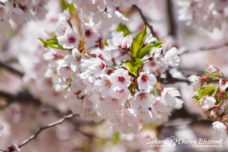 sakura watch may 17-19-22.jpg