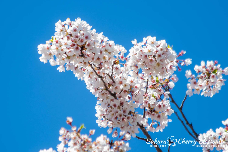 sakura watch may 17-19-35.jpg
