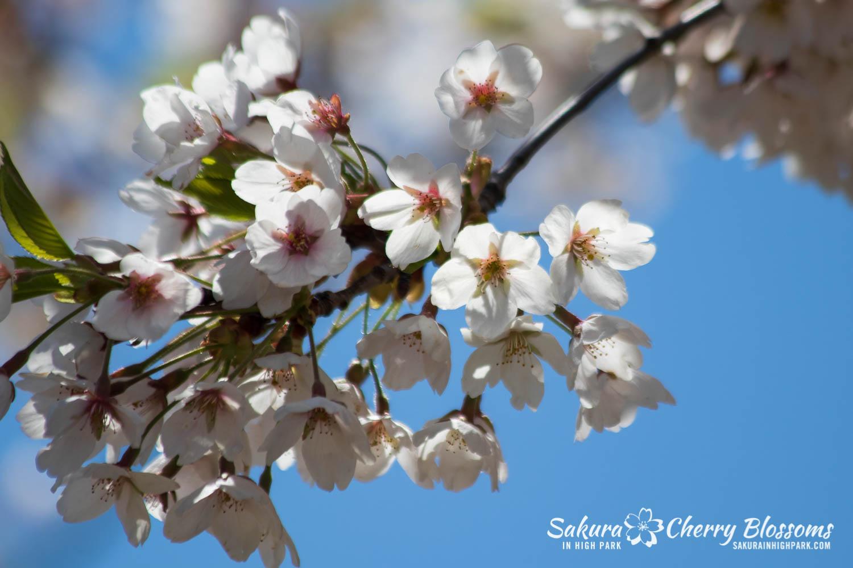 sakura watch may 17-19-62.jpg
