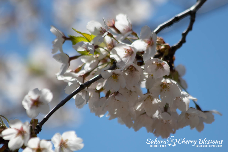 sakura watch may 17-19-63.jpg