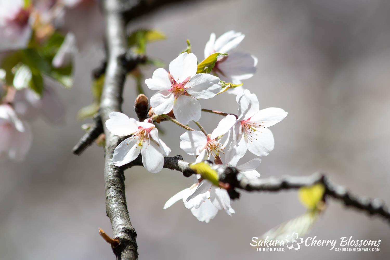 sakura watch may 17-19-79.jpg