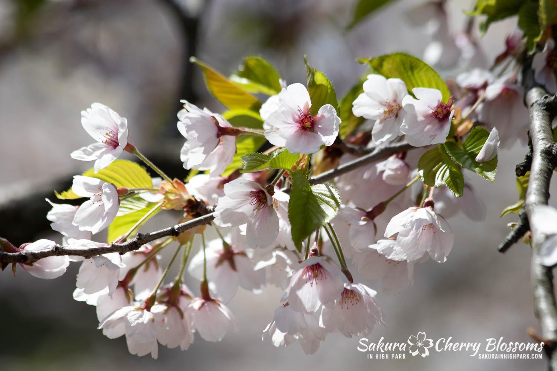 sakura watch may 17-19-77.jpg