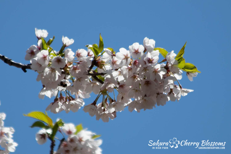sakura watch may 17-19-95.jpg
