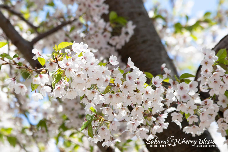 sakura watch may 17-19-105.jpg