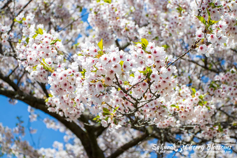 sakura watch may 17-19-260.jpg
