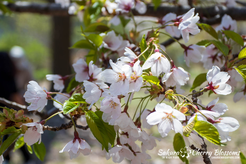 sakura watch may 17-19-281.jpg