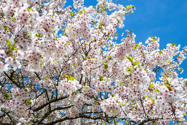 sakura watch may 17-19-264.jpg